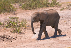 Elephant calf, amboseli national park, kenya Stock Photography