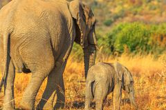 Elephant with calf royalty free stock photography