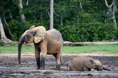 The elephant calf bathing in a dirt. Mud baths. Royalty Free Stock Photo