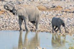 Elephant calf and bigger brother at Okaukeujo Stock Photos