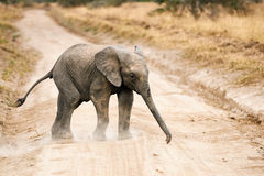 Elephant calf crossing a gravel road Stock Photo