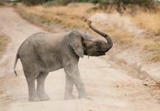 Elephant calf crossing a gravel road Stock Image