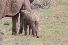 Elephant calf Stock Photos