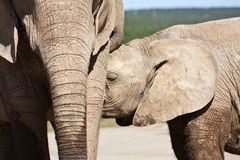 Elephant Calf  Drinking Stock Photography