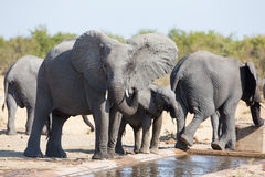 Elephant calf drinking water on dry and hot day Stock Photo