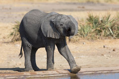Elephant calf drinking water on dry and hot day Royalty Free Stock Image