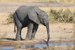 Elephant calf drinking water on dry and hot day Stock Image