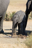 Elephant calf drinking water on dry and hot day Royalty Free Stock Photos