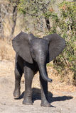 Elephant calf drinking water on dry and hot day Stock Images