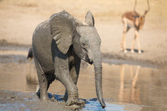 Elephant calf drinking water on dry and hot day Royalty Free Stock Photography