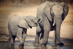Elephant calf drinking water on dry and hot day Stock Photography