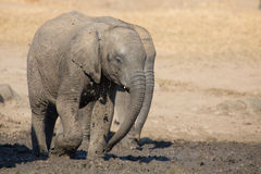 Elephant calf drinking water on dry and hot day Royalty Free Stock Images