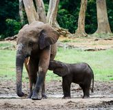 The elephant calf drinks milk at mum. Stock Image
