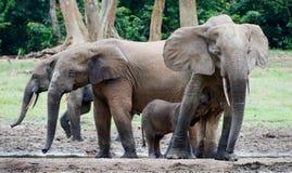 The elephant calf drinks milk at mum. Stock Photos