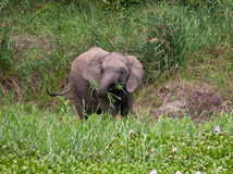 Elephant calf eating grass Stock Image