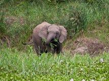 Elephant calf eating grass Stock Image
