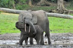 The elephant calf with elephant cow The African Forest Elephant, Loxodonta africana cyclotis. The elephant calf and elephant cow The African Forest Elephant stock photography
