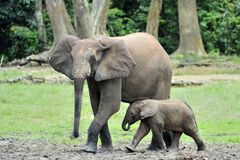 The elephant calf is fed with milk of an elephant cow The African Forest Elephant, Loxodonta africana cyclotis. At the Dzanga sali Stock Images