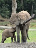 The elephant calf is fed with milk of an elephant cow The African Forest Elephant, Loxodonta africana cyclotis. At the Dzanga sali Royalty Free Stock Image