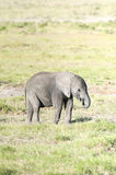 Elephant calf feeding by plucking grass Royalty Free Stock Image