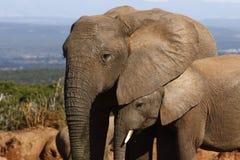 Elephant calf hiding Royalty Free Stock Photography