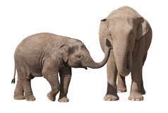 Elephant calf with his mother Royalty Free Stock Image