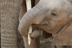 Elephant Calf Stock Images