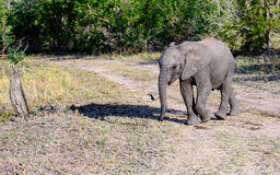 Elephant calf and its shadow Stock Photography