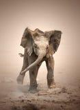 Elephant Calf mock charging Stock Image