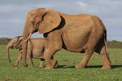 Elephant Calf and Mother Stock Photo