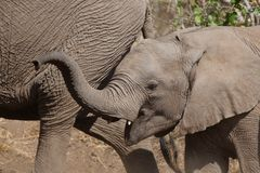 Elephant calf and mother Stock Image