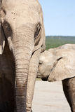 Elephant Calf and Mother Stock Photography