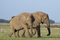 Elephant calf and mother. An elephant calf and mother in Amboseli National Park, Kenya Royalty Free Stock Photos