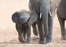 Elephant calf and mother charge towards water hole Stock Photo