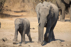 Elephant calf and mother charge towards water hole Royalty Free Stock Images