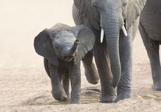 Elephant calf and mother charge towards water hole Royalty Free Stock Photos