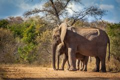 Elephant calf and mum Stock Images