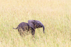 Elephant calf n the grass savanna Royalty Free Stock Image