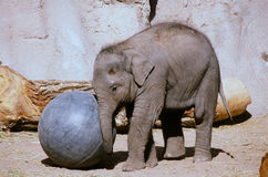 Elephant Calf Playing With A  Ball - Bio Park Zoo, NM Royalty Free Stock Photography
