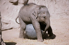 Elephant Calf Playing With Ball - Bio Park Zoo Stock Images