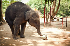 The elephant calf plays with a ball. The small elephant calf plays with a ball in a zoo Stock Photography