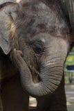 Elephant calf Royalty Free Stock Photos