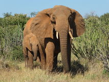 Elephant and calf. Protective Elephant with calf in colour stock image