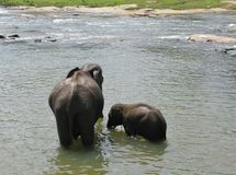 An elephant and a calf in the river Ma Oya Stock Photo