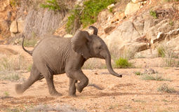 Elephant Calf Running Stock Photos