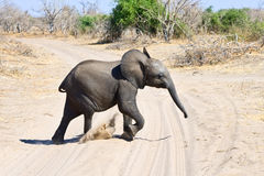 Elephant calf running Royalty Free Stock Photography