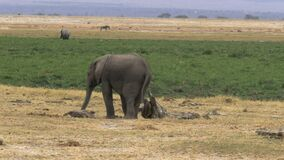 An elephant calf scratching on a tree stump in amboseli national park