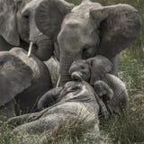 Elephant and calf in Serengeti National Park Stock Photo