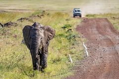 Elephant Calf on Side of Road With Safari Vehiclee. Young elephant walking down side of dirt road in Kenya, Africa with safari tourist vehicle approaching in royalty free stock image
