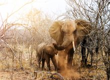 Elephant and calf in savannah. Elephant and calf in South African savannah royalty free stock images